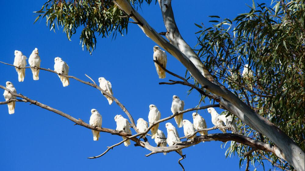 Cockatoos in tree